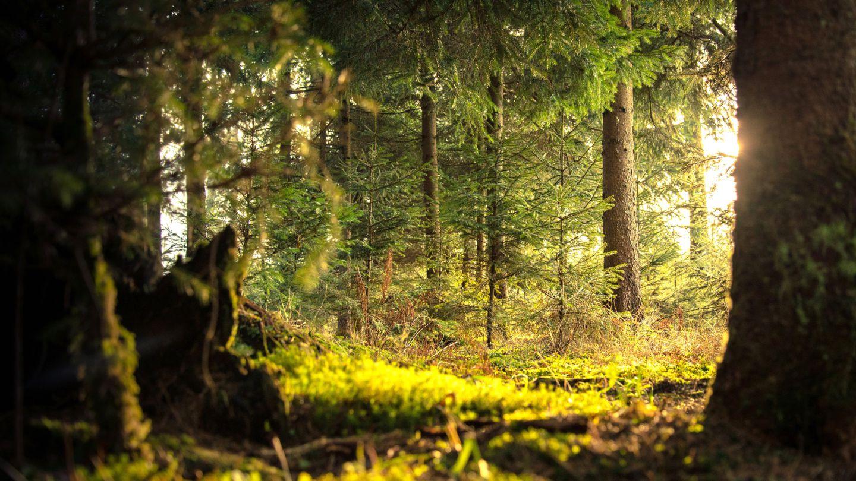 Conifer daylight environment 338936